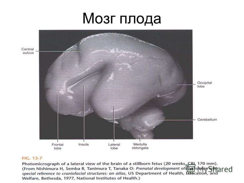 Мозг плода