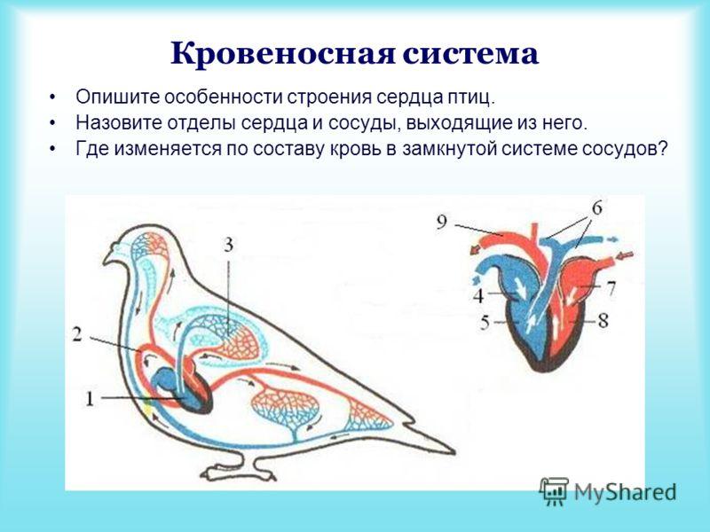 Кровеносная система Опишите особенности строения сердца птиц. Назовите отделы сердца и сосуды, выходящие из него. Где изменяется по составу кровь в замкнутой системе сосудов?