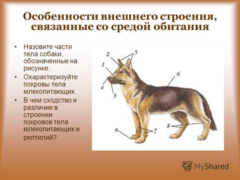 Особенности внешнего строения, связанные со средой обитания Назовите части тела собаки, обозначенные на рисунке. Охарактеризуйте покровы тела млекопитающих. В чем сходство и различие в строении покровов тела млекопитающих и рептилий?
