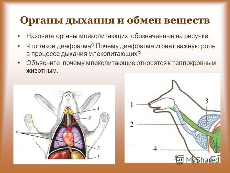 Органы дыхания и обмен веществ Назовите органы млекопитающих, обозначенные на рисунке. Что такое диафрагма? Почему диафрагма играет важную роль в процессе дыхания млекопитающих? Объясните, почему млекопитающие относятся к теплокровным животным.