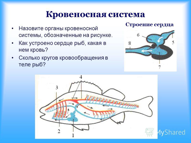 Кровеносная система Строение сердца Назовите органы кровеносной системы, обозначенные на рисунке. Как устроено сердце рыб, какая в нем кровь? Сколько кругов кровообращения в теле рыб?