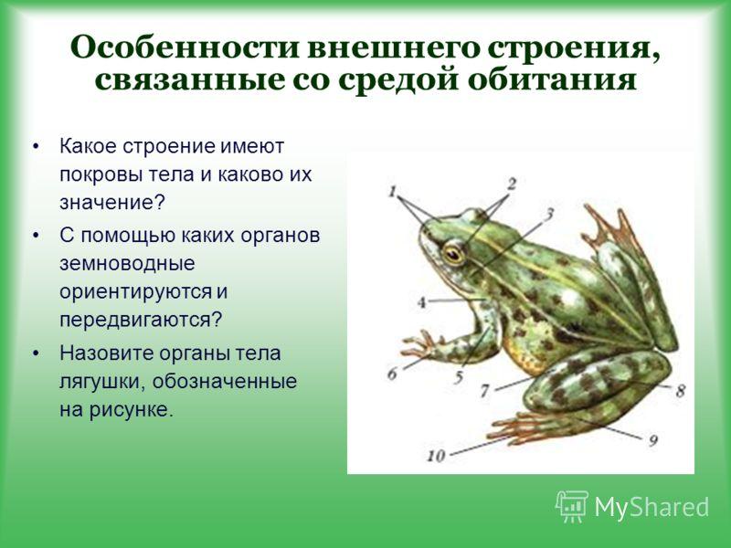 Особенности внешнего строения, связанные со средой обитания Какое строение имеют покровы тела и каково их значение? С помощью каких органов земноводные ориентируются и передвигаются? Назовите органы тела лягушки, обозначенные на рисунке.