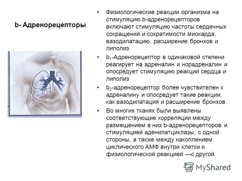 b- Адренорецепторы Физиологические реакции организма на стимуляцию b-адренорецепторов включают стимуляцию частоты сердечных сокращений и сократимости миокарда, вазодилатацию, расширение бронхов и липолиз. b 1 -Адренорецептор в одинаковой степени реаг
