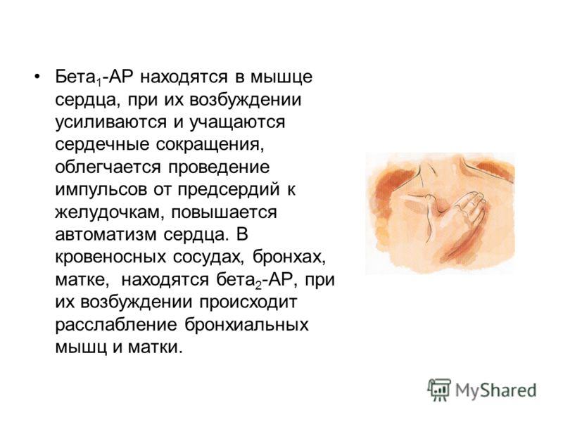 Бета 1 -АР находятся в мышце сердца, при их возбуждении усиливаются и учащаются сердечные сокращения, облегчается проведение импульсов от предсердий к желудочкам, повышается автоматизм сердца. В кровеносных сосудах, бронхах, матке, находятся бета 2 -