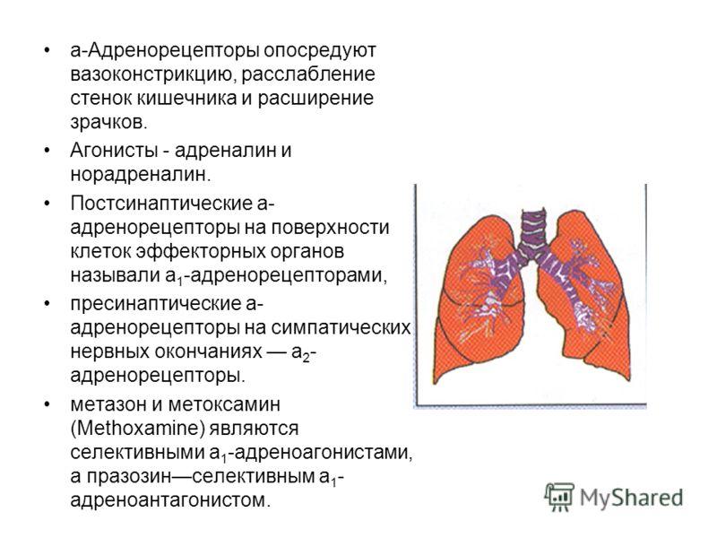 a-Адренорецепторы опосредуют вазоконстрикцию, расслабление стенок кишечника и расширение зрачков. Агонисты - адреналин и норадреналин. Постсинаптические a- адренорецепторы на поверхности клеток эффекторных органов называли a 1 -адренорецепторами, пре