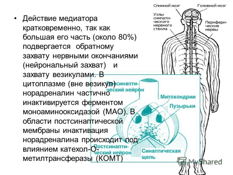 Действие медиатора кратковременно, так как большая его часть (около 80%) подвергается обратному захвату нервными окончаниями (нейрональный захват) и захвату везикулами. В цитоплазме (вне везикул) норадреналин частично инактивируется ферментом моноами