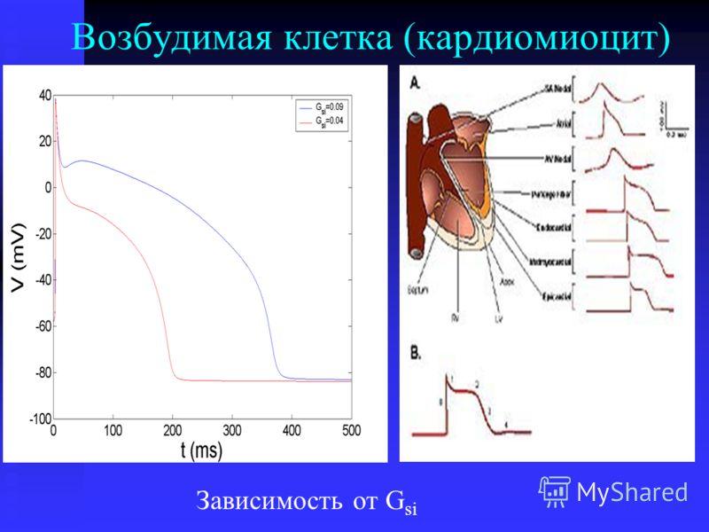 Возбудимая клетка (кардиомиоцит) Зависимость от G si