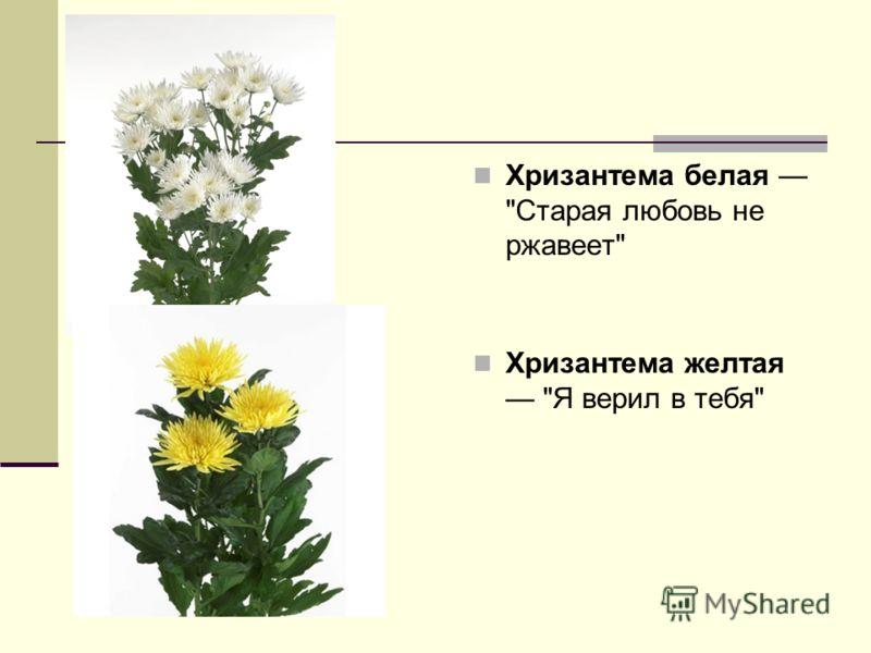 Хризантема белая Старая любовь не ржавеет Хризантема желтая Я верил в тебя