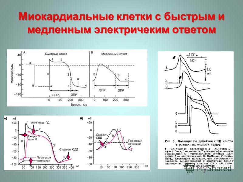Миокардиальные клетки с быстрым и медленным электричеким ответом