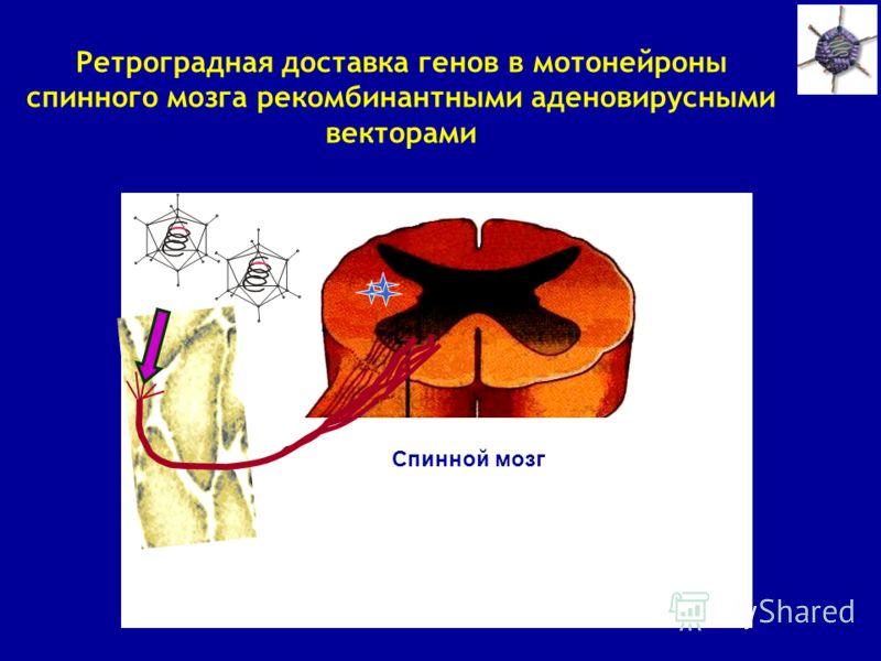 Ретроградная доставка генов в мотонейроны спинного мозга рекомбинантными аденовирусными векторами Спинной мозг