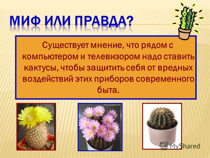 Существует мнение, что рядом с компьютером и телевизором надо ставить кактусы, чтобы защитить себя от вредных воздействий этих приборов современного быта.