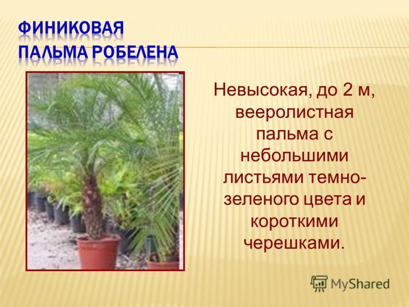 Невысокая, до 2 м, вееролистная пальма с небольшими листьями темно- зеленого цвета и короткими черешками.