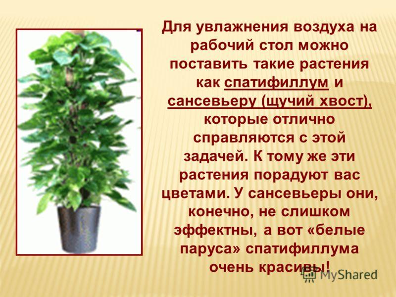 Для увлажнения воздуха на рабочий стол можно поставить такие растения как спатифиллум и сансевьеру (щучий хвост), которые отлично справляются с этой задачей. К тому же эти растения порадуют вас цветами. У сансевьеры они, конечно, не слишком эффектны,
