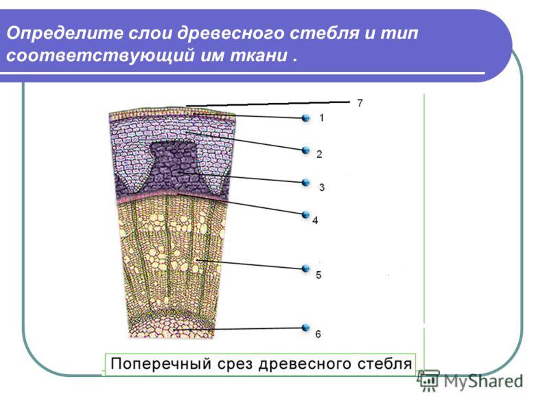 Определите слои древесного стебля и тип соответствующий им ткани.