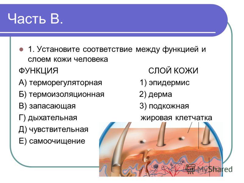 Часть В. 1. Установите соответствие между функцией и слоем кожи человека ФУНКЦИЯ СЛОЙ КОЖИ А) терморегуляторная 1) эпидермис Б) термоизоляционная 2) дерма В) запасающая 3) подкожная Г) дыхательная жировая клетчатка Д) чувствительная Е) самоочищение