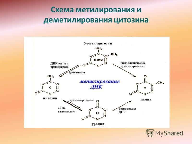 Схема метилирования и деметилирования цитозина