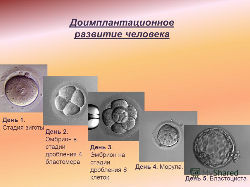 3 Доимплантационное развитие человека День 2. Эмбрион в стадии дробления 4 бластомера День 3. Эмбрион на стадии дробления 8 клеток. День 4. Морула. День 5. Бластоциста День 1. Стадия зиготы