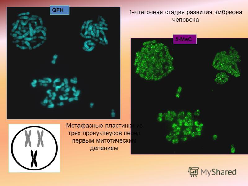 5-MeC QFH 1-клеточная стадия развития эмбриона человека Метафазные пластинки из трех пронуклеусов перед первым митотическим делением