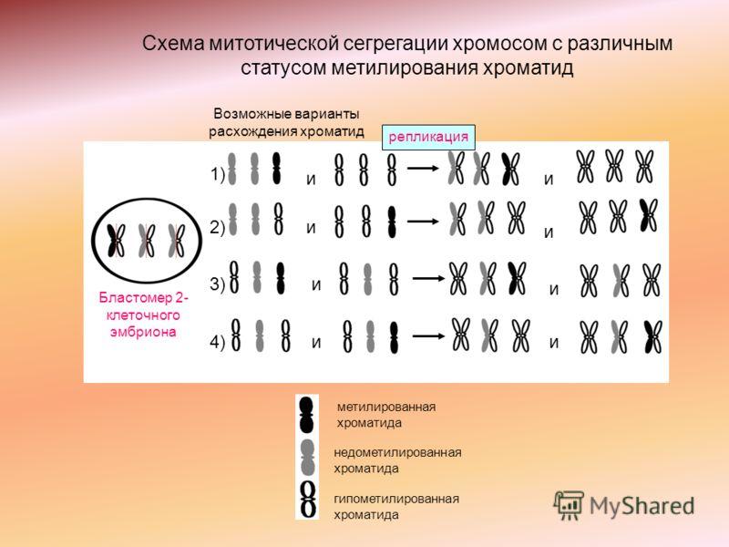 и и и и и и и и 1) 2) 3) 4) Возможные варианты расхождения хроматид репликация метилированная хроматида недометилированная хроматида гипометилированная хроматида Бластомер 2- клеточного эмбриона Схема митотической сегрегации хромосом с различным стат