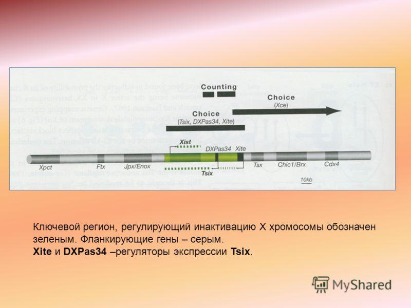Ключевой регион, регулирующий инактивацию Х хромосомы обозначен зеленым. Фланкирующие гены – серым. Xite и DXPas34 –регуляторы экспрессии Tsix.