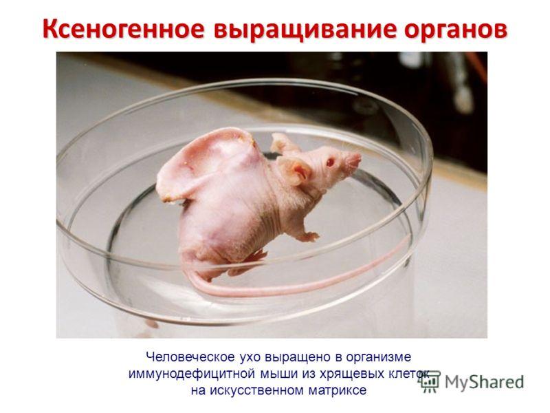 Человеческое ухо выращено в организме иммунодефицитной мыши из хрящевых клеток на искусственном матриксе Ксеногенное выращивание органов