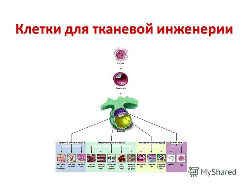 Клетки для тканевой инженерии