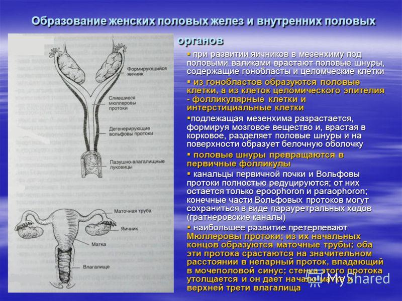 Образование женских половых желез и внутренних половых органов Образование женских половых желез и внутренних половых органов при развитии яичников в мезенхиму под половыми валиками врастают половые шнуры, содержащие гонобласты и целомческие клетки п