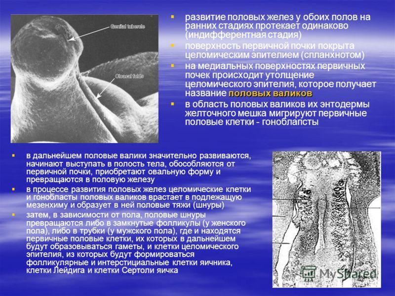 развитие половых желез у обоих полов на ранних стадиях протекает одинаково (индифферентная стадия) поверхность первичной почки покрыта целомическим эпителием (спланхнотом) половых валиков на медиальных поверхностях первичных почек происходит утолщени