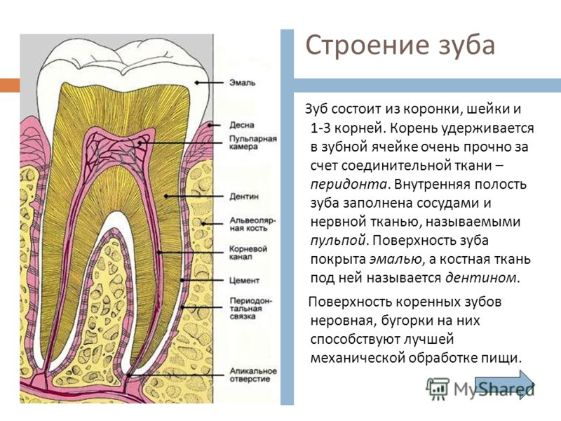 Строение зуба Зуб состоит из коронки, шейки и 1-3 корней. Корень удерживается в зубной ячейке очень прочно за счет соединительной ткани – перидонта. Внутренняя полость зуба заполнена сосудами и нервной тканью, называемыми пульпой. Поверхность зуба по