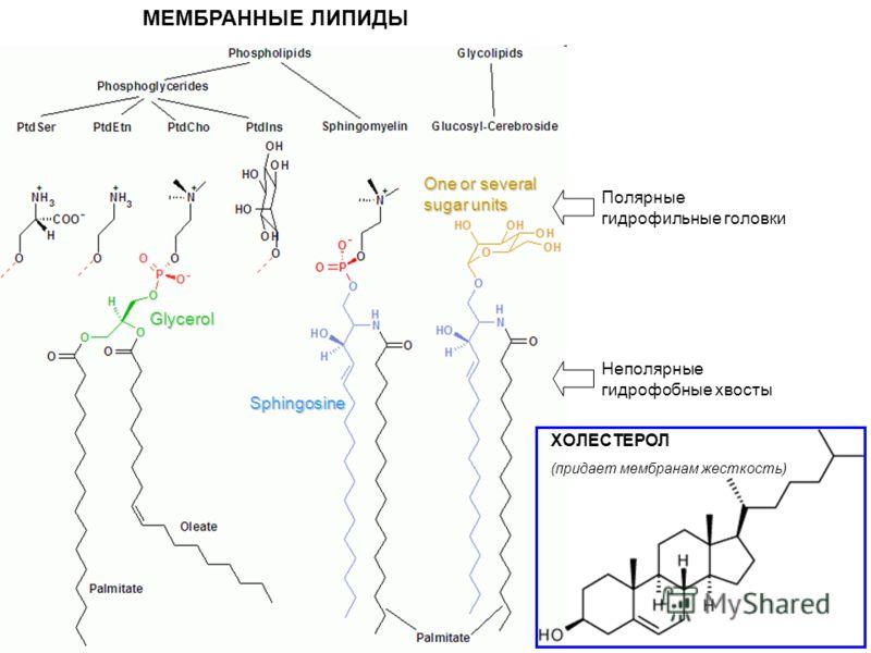 МЕМБРАННЫЕ ЛИПИДЫGlycerol Sphingosine One or several sugar units Полярные гидрофильные головки Неполярные гидрофобные хвосты ХОЛЕСТЕРОЛ (придает мембранам жесткость)