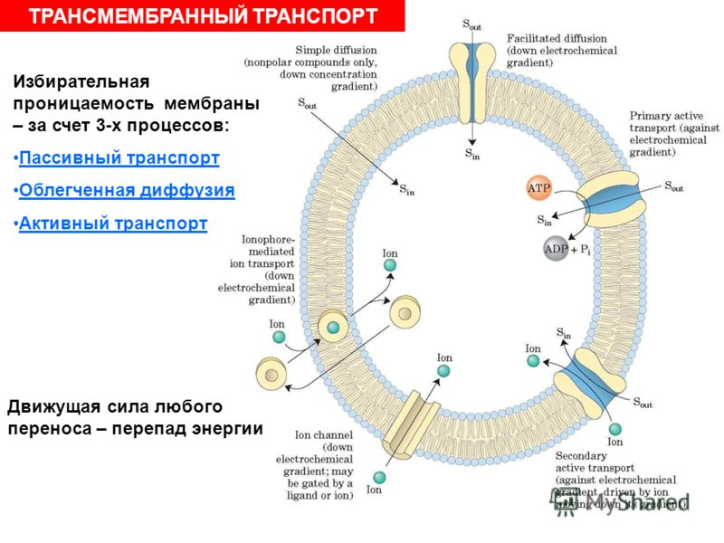 ТРАНСМЕМБРАННЫЙ ТРАНСПОРТ Избирательная проницаемость мембраны – за счет 3-х процессов: Пассивный транспорт Облегченная диффузия Активный транспорт Движущая сила любого переноса – перепад энергии