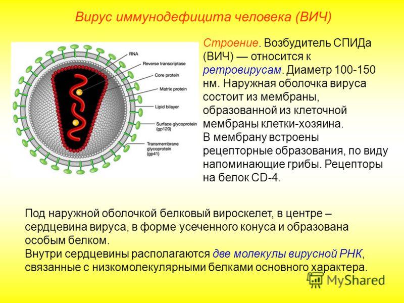 Вирус иммунодефицита человека (ВИЧ) Строение. Возбудитель СПИДа (ВИЧ) относится к ретровирусам. Диаметр 100-150 нм. Наружная оболочка вируса состоит из мембраны, образованной из клеточной мембраны клетки-хозяина. В мембрану встроены рецепторные образ
