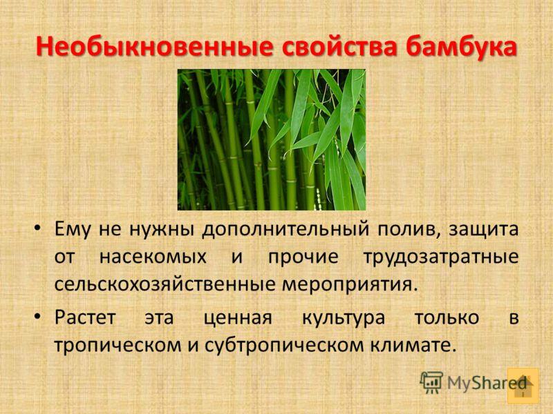 Необыкновенные свойства бамбука Ему не нужны дополнительный полив, защита от насекомых и прочие трудозатратные сельскохозяйственные мероприятия. Растет эта ценная культура только в тропическом и субтропическом климате.