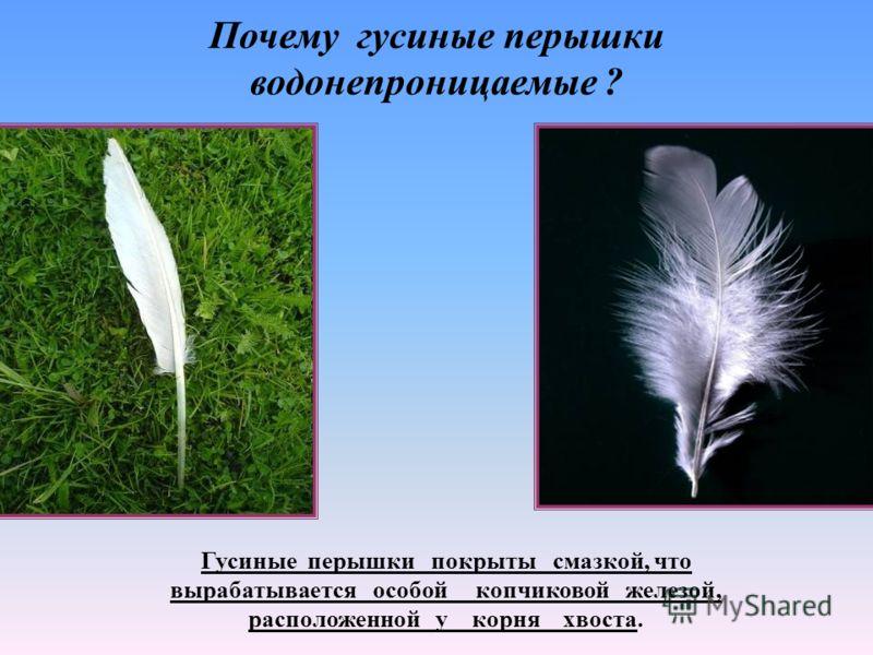 Почему гусиные перышки водонепроницаемые ? Гусиные перышки покрыты смазкой, что вырабатывается особой копчиковой железой, расположенной у корня хвоста.