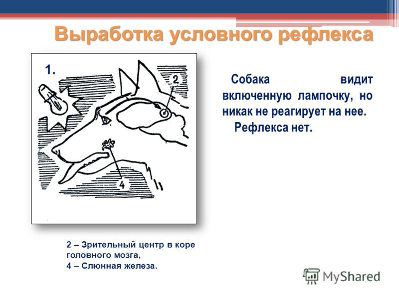 Собака видит включенную лампочку, но никак не реагирует на нее. Рефлекса нет. Выработка условного рефлекса 2 – Зрительный центр в коре головного мозга, 4 – Слюнная железа. 1.