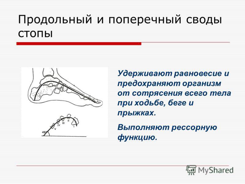 Продольный и поперечный своды стопы Удерживают равновесие и предохраняют организм от сотрясения всего тела при ходьбе, беге и прыжках. Выполняют рессорную функцию.