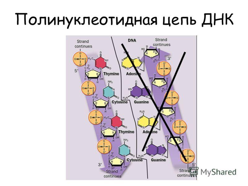 Полинуклеотидная цепь ДНК