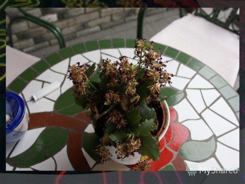 Цветок который подвергся эксперименту на выживание. Так выглядел после суток эксперимента. Суть эксперимента заключается в том что бы выяснить как долго сможет прожить растение, если поливать его газированным напитком Coca-cola.