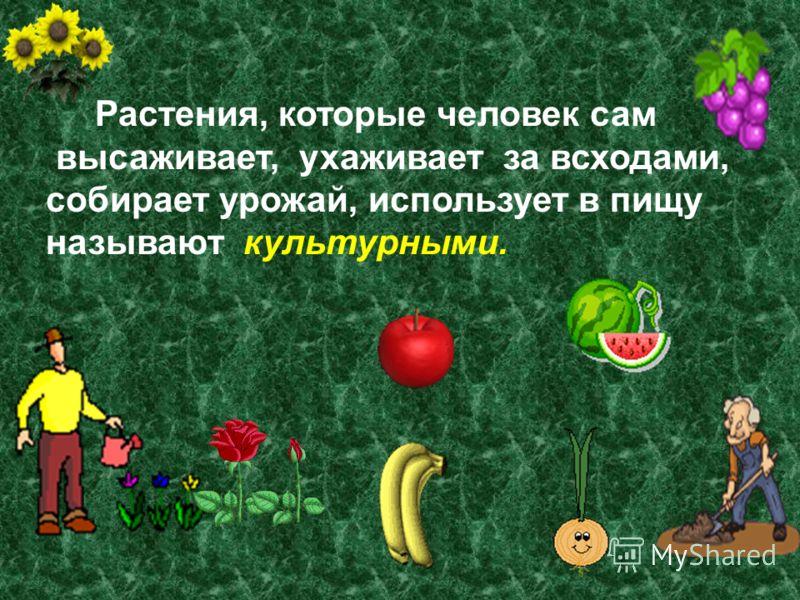Растения, которые человек сам высаживает, ухаживает за всходами, собирает урожай, использует в пищу называют культурными.