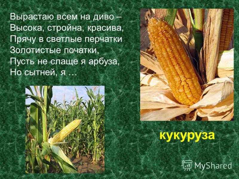 Вырастаю всем на диво – Высока, стройна, красива, Прячу в светлые перчатки Золотистые початки, Пусть не слаще я арбуза, Но сытней, я … кукуруза