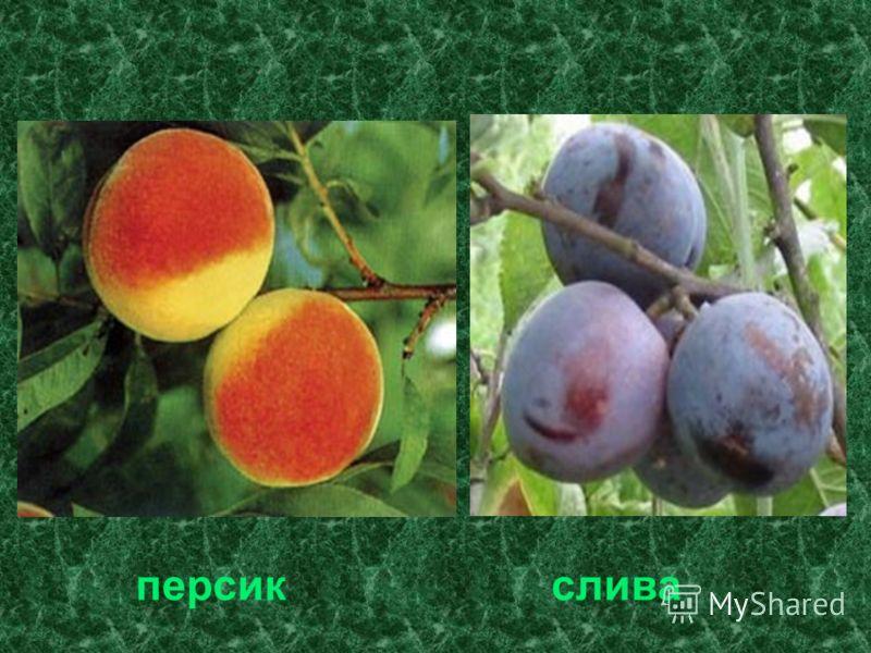 персик слива