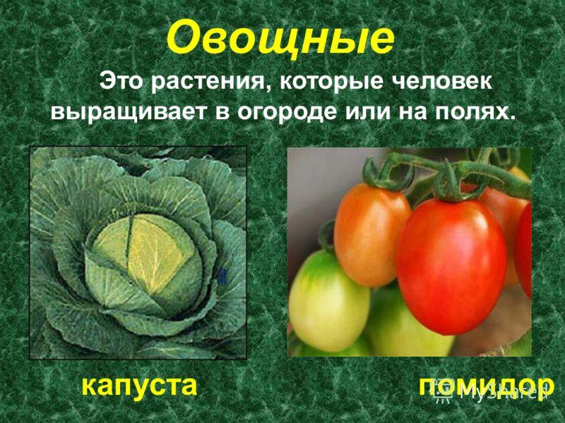 Овощные Это растения, которые человек выращивает в огороде или на полях. капуста помидор