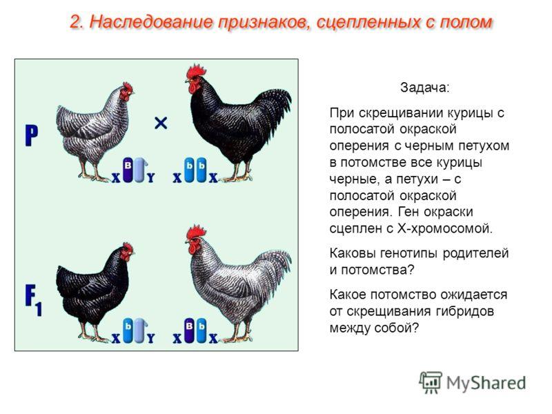 Задача: При скрещивании курицы с полосатой окраской оперения с черным петухом в потомстве все курицы черные, а петухи – с полосатой окраской оперения. Ген окраски сцеплен с Х-хромосомой. Каковы генотипы родителей и потомства? Какое потомство ожидаетс
