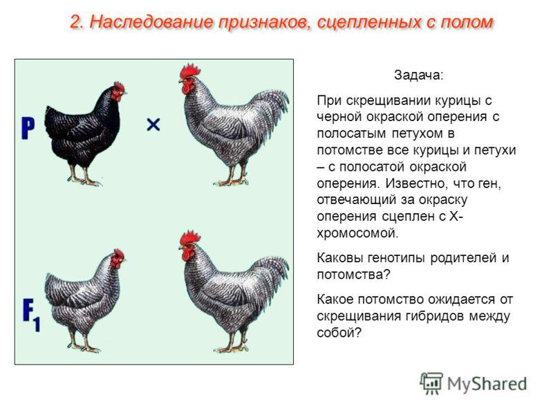 Задача: При скрещивании курицы с черной окраской оперения с полосатым петухом в потомстве все курицы и петухи – с полосатой окраской оперения. Известно, что ген, отвечающий за окраску оперения сцеплен с Х- хромосомой. Каковы генотипы родителей и пото