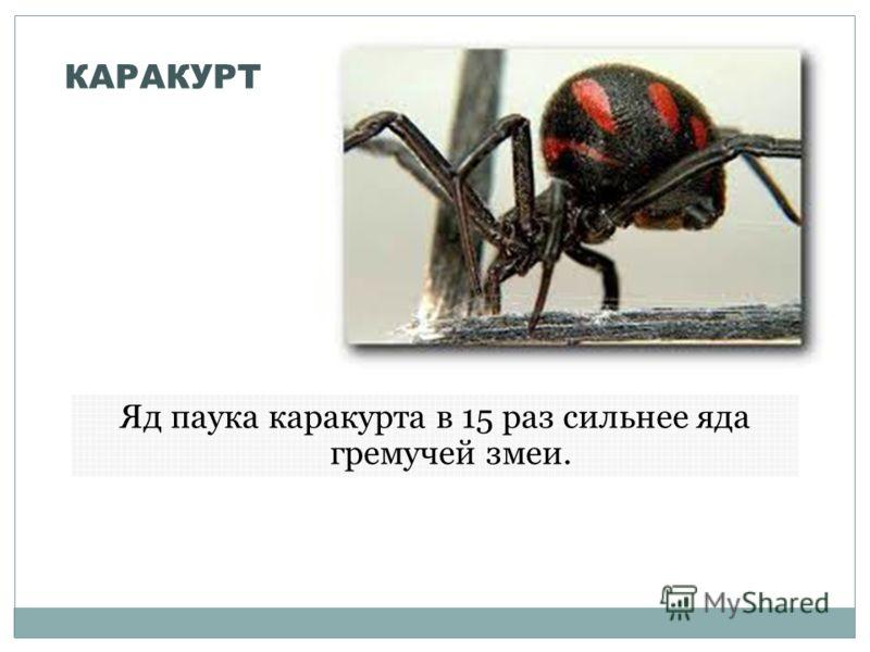 КАРАКУРТ Яд паука каракурта в 15 раз сильнее яда гремучей змеи.