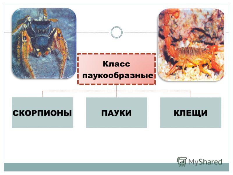 Класс паукообразные СКОРПИОН Ы ПАУКИКЛЕЩИ