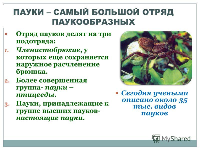 ПАУКИ – САМЫЙ БОЛЬШОЙ ОТРЯД ПАУКООБРАЗНЫХ Отряд пауков делят на три подотряда: 1. Членистобрюхие, у которых еще сохраняется наружное расчленение брюшка. 2. Более совершенная группа- пауки – птицееды. 3. Пауки, принадлежащие к группе высших пауков- на