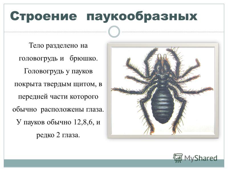 Строение паукообразных Тело разделено на головогрудь и брюшко. Головогрудь у пауков покрыта твердым щитом, в передней части которого обычно расположены глаза. У пауков обычно 12,8,6, и редко 2 глаза.