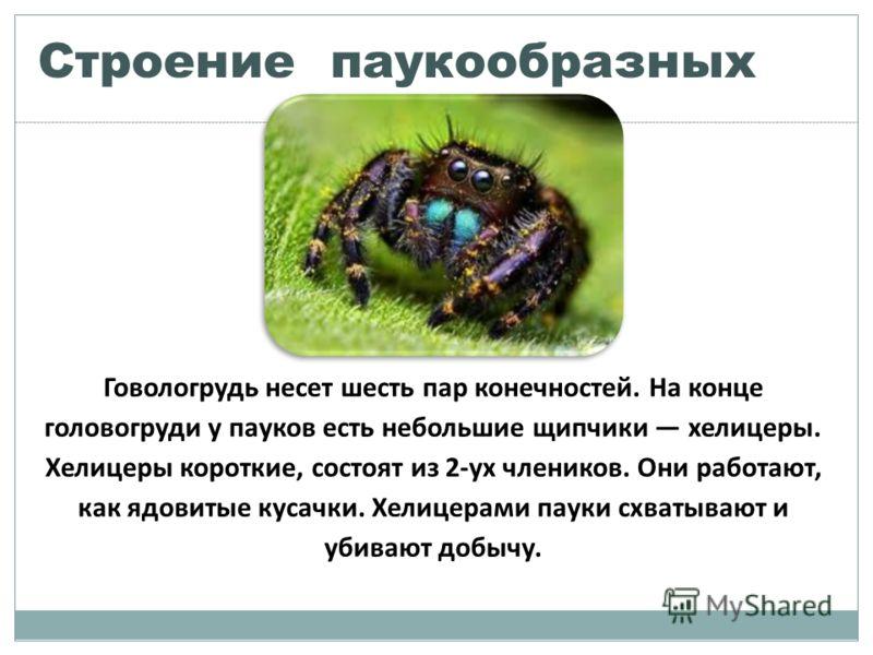 Строение паукообразных Говологрудь несет шесть пар конечностей. На конце головогруди у пауков есть небольшие щипчики хелицеры. Хелицеры короткие, состоят из 2-ух члеников. Они работают, как ядовитые кусачки. Хелицерами пауки схватывают и убивают добы