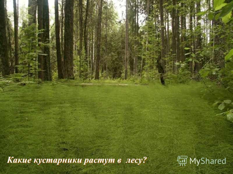 Какие кустарники растут в лесу?